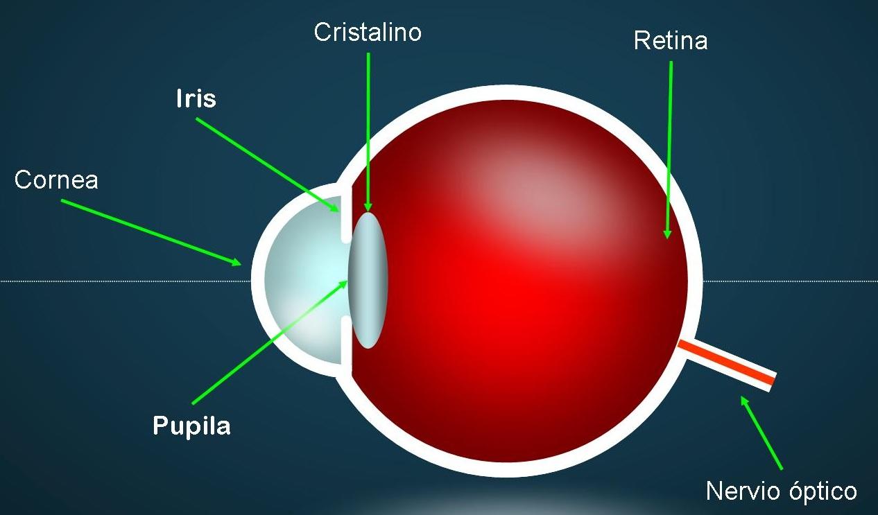 Partes del ojo para niños - Imagui